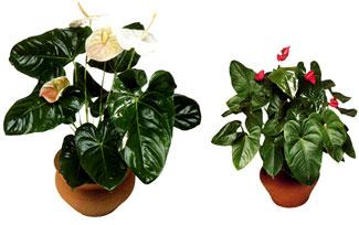 Florister a flores plantas y detalles for Jardines de anturios